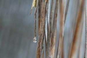 Queen Palm frond raindrop