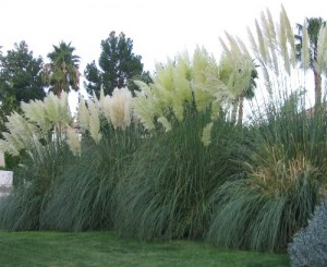 Pampas_Grass - borrowed image from an internet gardening site