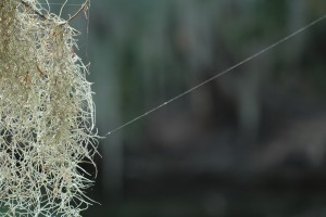 tiny spiders work their delicate magic amidst the Spanish moss