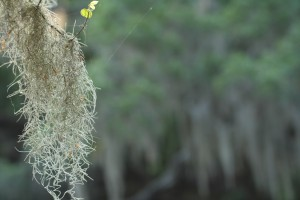 Up close and personal: hello, Spanish moss