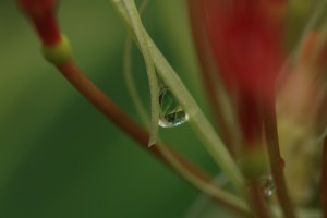 droplet in blood lily