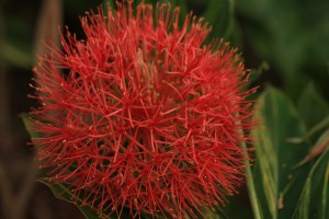 Blood Lily in bloom